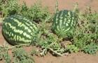 Сорт арбуза: Землянин