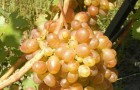 Сорт винограда: Зоревой