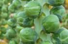 Сорт капусты брюссельской: Диабло f1