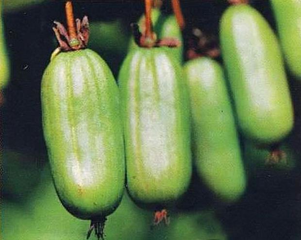 Сорт актинидии: Фантазия садов