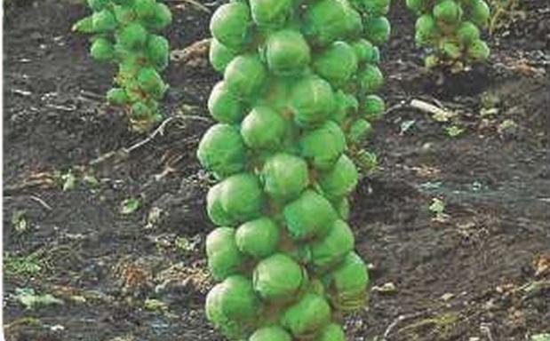 Сорт капусты брюссельской: Франклин   f1