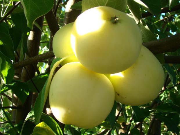 Где лучше посадить молодое дерево яблони