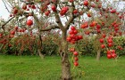 Как выбирать саженцы яблони