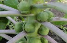 Сорт капусты брюссельской: Командор