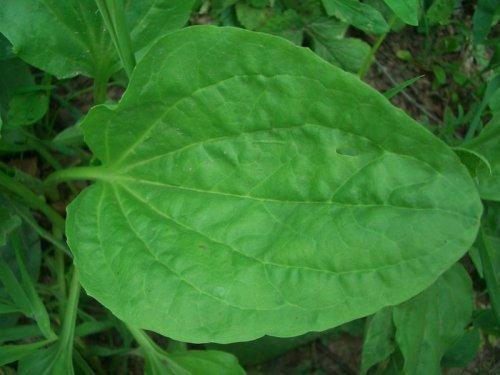 Компресс с листьями подорожника