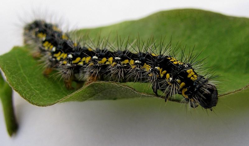 Листогрызущие гусеницы