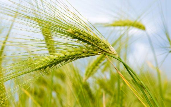 Лосьон пшеничный