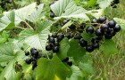 Махровость черной смородины