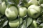 На каком расстоянии друг от друга стоит сажать саженцы яблони