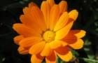 Обертывание с цветками календулы