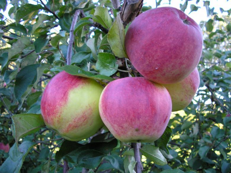 Отклонение веток у яблони