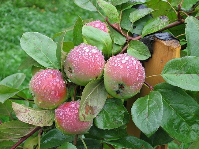 Почему не плодоносит яблоня?