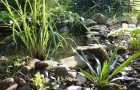 Почвопокровные растения для оформления водоемов