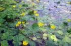 Растения — оксигенаторы для оформления водоемов