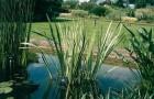Растения мелководья