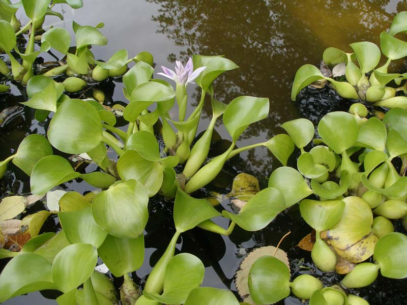 Размножение водных растений