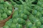 Сорт капусты брюссельской: Розелла