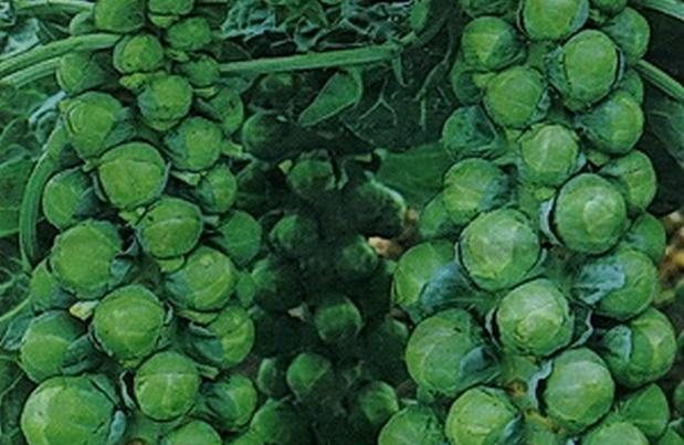 Сорт капусты брюссельской: Сапфир