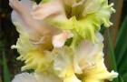 Сорт капусты гладиолуса: Андрей сахаров