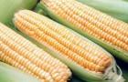 Сорт кукурузы сахарной: Анкор