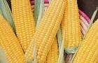 Сорт кукурузы сахарной: Анна с