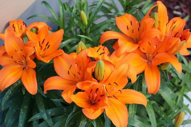 Сорт лилии: Антонина
