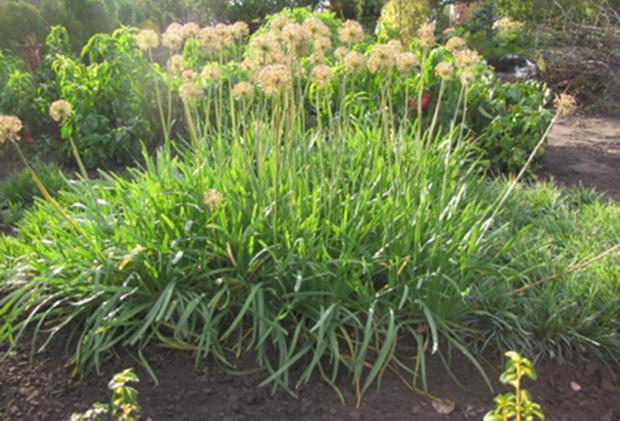 Выращивание лука слизуна в домашних условиях 42