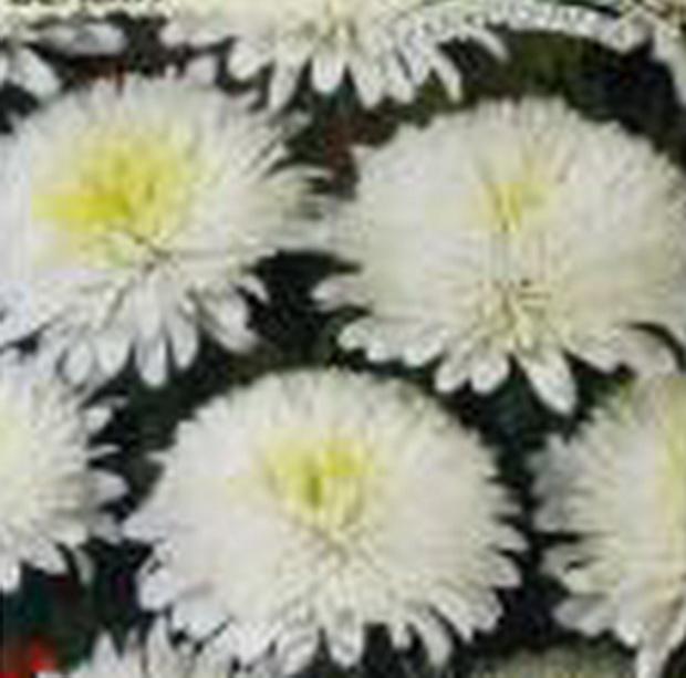 Сорт астры однолетней: Арлекино белая