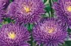 Сорт астры однолетней: Арлекино фиолетовая с белым