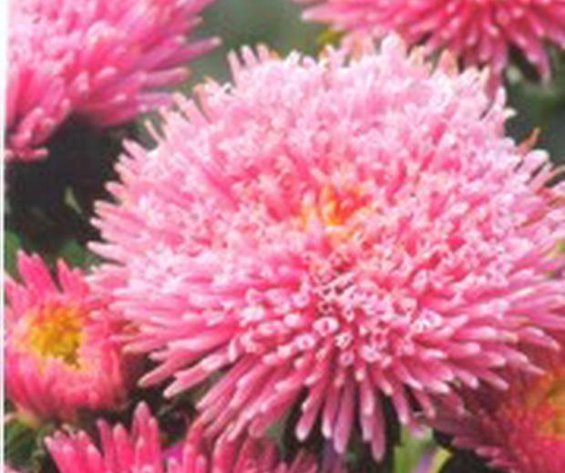 Сорт астры однолетней: Арлекино розовая