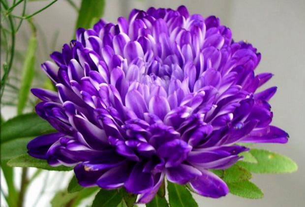 Сорт астры однолетней: Арлекино темно-фиолетовая