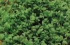 Сорт кресс-салата: Ажур