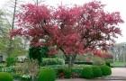 Сорт яблони декоративной: Багряный цвет