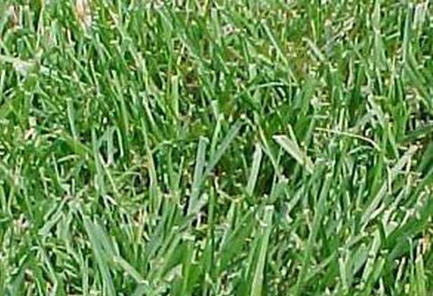 Сорт мятлика лугового: Балин