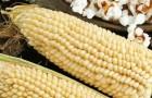 Сорт кукурузы сахарной: Белое облако
