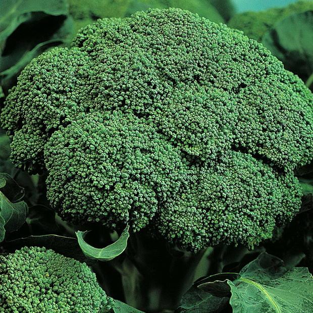 Сорт капусты брокколи: Белстар   f1