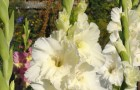 Сорт капусты гладиолуса: Белый орел