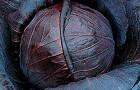 Сорт капусты краснокочанной: Бенефис f1