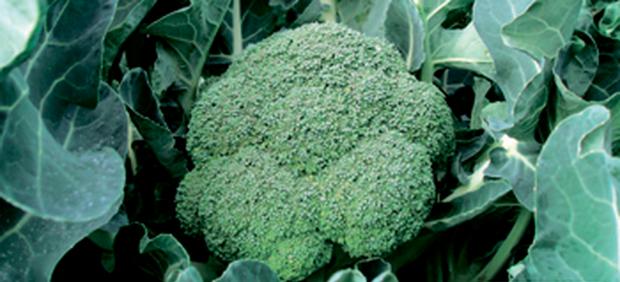 Сорт капусты брокколи: Бомонт   f1