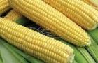 Сорт кукурузы сахарной: Бостон