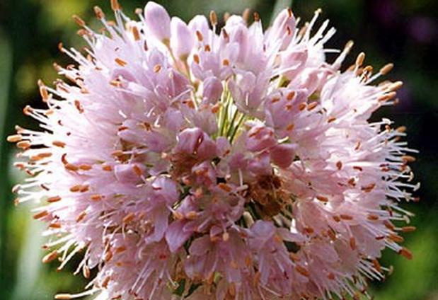 Сорт лука слизуна: Челябинский розовый