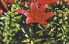 Сорт лилии: Диана