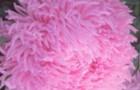 Сорт астры однолетней: Дракон розовый
