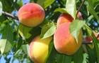 Сорт персика: Джаминат