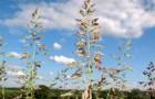 Сорт мятлика лугового: Эвора