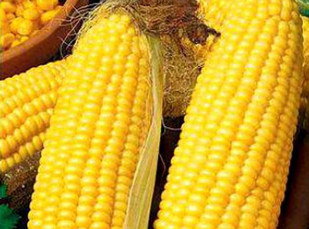 Сорт кукурузы сахарной: Фаворит