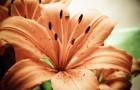 Сорт лилии: Фаворит