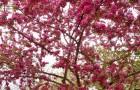 Сорт яблони декоративной: Газонная