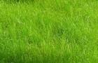 Сорт мятлика лугового: Геронимо