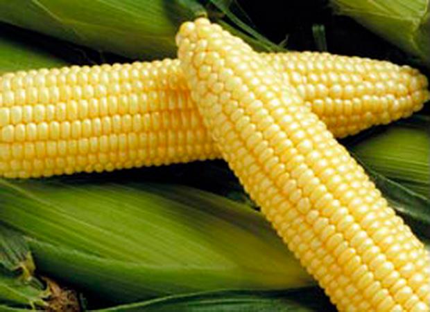 Сорт кукурузы сахарной: Гх 2041
